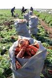 Сумки морковей в поле Стоковые Изображения