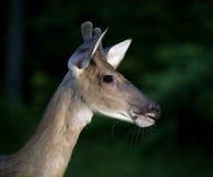сумрак самеца оленя Стоковые Фото