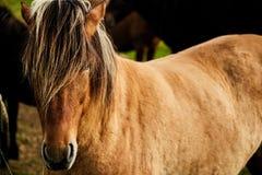 Супер красивая исландская лошадь стоковое изображение rf