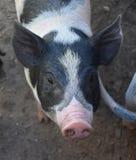 Супер милая сторона черно-белой свиньи с розовым рыльцем Стоковые Фотографии RF