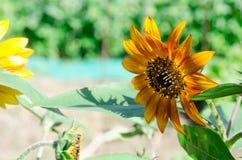 Супер нерукотворный пик гороха бабочки вдоль супер хорошего дня Стоковая Фотография RF