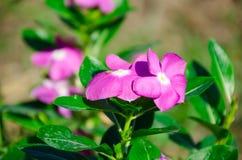 Супер нерукотворный пик розового mose вдоль супер хорошего дня Стоковое Изображение