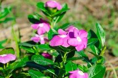 Супер нерукотворный пик розового mose вдоль супер хорошего дня Стоковые Изображения