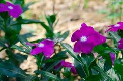 Супер нерукотворный пик розового mose вдоль супер хорошего дня Стоковые Фотографии RF
