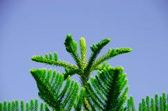 Супер нерукотворный пик сосны вдоль супер хорошего дня Стоковое Фото