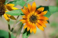 Супер нерукотворный пик солнцецвета вдоль супер хорошего дня Стоковые Изображения RF