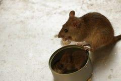 Супер прелестная мышь матери есть рис с ее младенцем жестяной коробкой стоковые изображения