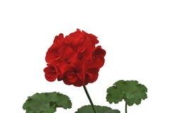 Супер фото макроса цветка сада Стоковое Изображение RF