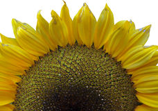 Супер фото макроса цветка Солнцецвет Стоковые Фотографии RF