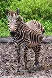 супоросая зебра Стоковые Изображения RF