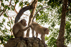 супруг обезьяны Стоковое Изображение