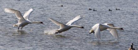 сурдинка с взятия лебедя Стоковые Изображения
