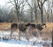 Суровые волки охотясь совместно Стоковые Изображения