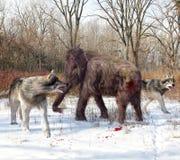 Суровые волки охотясь ювенильный шерстистый мамонт Стоковые Фотографии RF