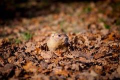 Сурок bobak или степи в парке осени стоковая фотография rf