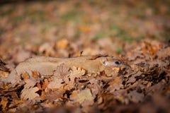 Сурок bobak или степи в парке осени стоковое изображение rf