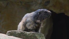 Сурок, marmota Marmota, милое животное сидя под камнем, среда обитания утеса природы, акции видеоматериалы