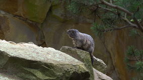 Сурок, marmota Marmota, милое животное сидя под камнем, среда обитания утеса природы, видеоматериал