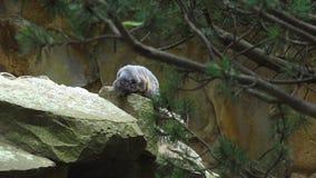 Сурок, marmota Marmota, милое животное сидя под камнем, среда обитания утеса природы, сток-видео