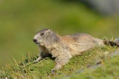 Сурок (Marmota) Стоковые Фотографии RF