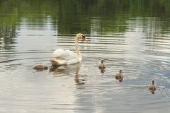 Сурдинка лебедей-, семья Стоковые Фотографии RF