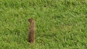 Суслик стоит в зеленой траве, смотрит вокруг, белка земли акции видеоматериалы