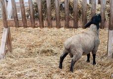 суффольк овец Стоковая Фотография
