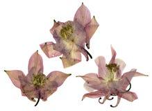 Сухая большая розовая перспектива чувствительное королевское Aquilegia с presse Стоковые Фотографии RF
