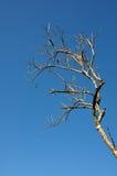Сухая ветвь дерева Стоковая Фотография