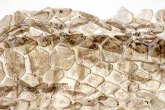 Сухая кожа змейки на белой предпосылке, фото макроса Крупный план кожи змейки с освещает контржурным светом Картина масштаба гада стоковая фотография rf