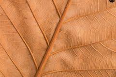 Сухая коричневая текстура лист Стоковое Изображение RF