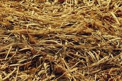 Сухая предпосылка соломы тростников в солнце стоковое изображение rf