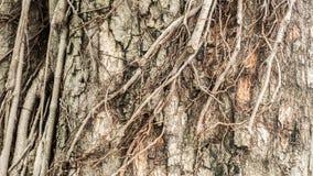 Сухая предпосылка текстуры коры дерева Закройте вверх по большому дереву стоковое изображение