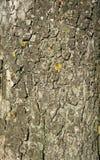 Сухая предпосылка текстуры коры дерева Стоковая Фотография