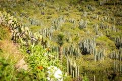 Сухая пустыня на дневном свете с кактусами стоковая фотография