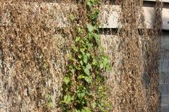 Сухая трава на старой стене цемента Стоковые Изображения RF
