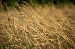 Сухая трава пошатывая в backgound ветра Стоковое фото RF