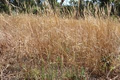 Сухая трава представляет опасность огня в сельском море лесного пожара Австралии Стоковая Фотография RF