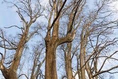 Сухие безлистные ветви дерева против голубого облачного неба Стоковые Изображения