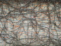 Сухие ветви без листьев взбираясь на кирпичной стене в зиме Стоковые Изображения RF