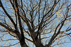 Сухие ветви дерева против неба Стоковое Фото