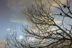 Сухие ветви дерева с голубым небом и облаками Стоковое Изображение