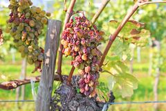 Сухие виноградины готовые для сбора Стоковые Изображения