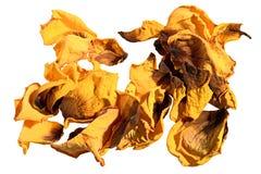 Сухие лепестки желтой изолированной розы Стоковое Изображение