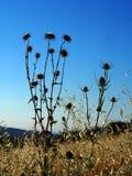 Сухие заводы thistle в поле Стоковая Фотография RF
