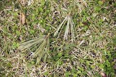 Сухие иглы сосны упали от дерева и лож на зеленой траве стоковая фотография rf