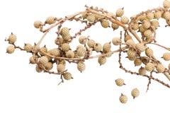 Сухие изолированные цветки Стоковое фото RF