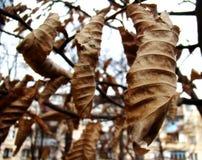 Сухие листья каштана Стоковые Фотографии RF