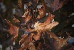 Сухие листья падения осени Стоковая Фотография RF