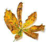 Сухие лист каштана осени Стоковое Изображение RF